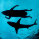 underwater, sea, nature, water, shark, silhouette, men, surfing wallpaper