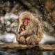 japanese macaque, macaca fuscata, snow monkey, winter, snow, animals, japan, nihonzaru wallpaper