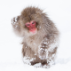 monkey, animals, snow, winter, japanese macaque, snow monkey, nihonzaru wallpaper
