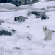 arctic fox, nature, winter, snow, animals, camouflage, frost, canada wallpaper