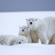 polar bear, bear, snow, winter, family wallpaper