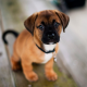 puppy, dog, animals, cute dog wallpaper