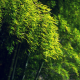bamboo, green, trees wallpaper