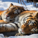 siberian tiger, animals, snow, winter wallpaper