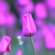 tulips, flowers, stem, petals, nature wallpaper