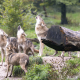 wolf, animals, log, nature, grass wallpaper