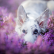 border collie, dog, snout, ears, flowers, nature, heather, bokeh, animals wallpaper