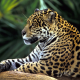 brazil, rainforest, jaguar, animals wallpaper