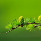conifer, cones, macro, blurred, green, photography wallpaper