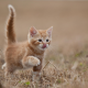red kitten, kitty, cat, animals wallpaper