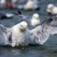 kittiwake, river, spray, bathing, bering island, kamchatka peninsula, bering sea, russia, bird, animals, nature wallpaper