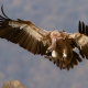griffon, birds, vulture, flight, animals, wings wallpaper