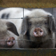 pigs, animals, dirt wallpaper
