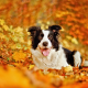 border collie, dog, leaf, autumn, bokeh, fall, animals wallpaper