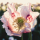 poppy, pink, flowers, petals, bokeh, macro, nature wallpaper