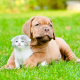 puppy, kitten, animals, friends, dogue de bordeaux, bordeaux mastiff, french mastiff, bordeauxdog wallpaper