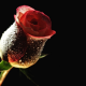 dew, dark rose, flowers, rose, bud, drops wallpaper