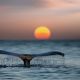whale, tail, water, sea, ocean, sunset, sun, animals, nature wallpaper
