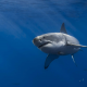 shark, underwater, white shark, sea, animals wallpaper