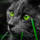 cat, animals, green eyes, grey cat wallpaper