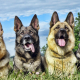 german shepherd, dog, animals, 4 shepherd dogs wallpaper