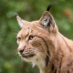 wild cat, lynx, muzzle, animals wallpaper