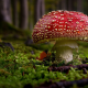 mushroom, forest, close-up, nature, amanita wallpaper