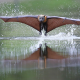 flying fox, animals, flight, water, splash, wings wallpaper