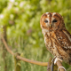 tawny owl, owl, bird, animals, brown owl, strix aluco wallpaper