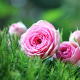 pink roses, roses, grass, flowers, nature wallpaper