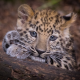 leopard, predator, animals, leopard cub, wild cat wallpaper