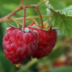 berry, raspberry, macro, food, nature wallpaper