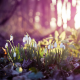 flowers, snowdrops, spring, nature, sunlight wallpaper
