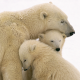 animals, polar bear, family, bear cubs, bear wallpaper