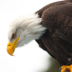bird, eagle, bald eagle, animals, beak wallpaper