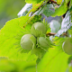 hazelnuts, filberts, unripe nut, nut leaf, nuts, food, nature wallpaper