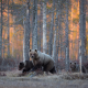 bear, wood, bear cubs, brown bears, animas, forest wallpaper