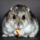 hamster, rodent, dwarf hamster, cookies wallpaper