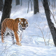 winter, snow, tiger, animals wallpaper