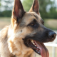 dog, jaws, tongue, animals, german shepherd, police dog wallpaper