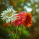 white, orange, red, gerbera, flowers, nature wallpaper