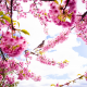 spring, petals, flowers, birds, cherry, nature wallpaper