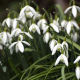 snowdrops, spring, flowers, macro photo, nature wallpaper