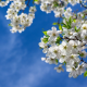 spring, cherry, flowers, nature wallpaper