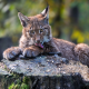 stump, lynx, cub, animals wallpaper