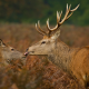 kiss, deer, wildlife, animals, horns wallpaper