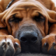 bloodhound, dog, photo, dream, sleeping, animals wallpaper