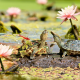 pond, water, flowers, water lilies, duckweed, turtle, dragonfly, stone, nature, animals wallpaper