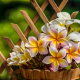 pot, plumeria, frangipani, flowers, nature wallpaper