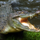 animals, reptiles, crocodiles wallpaper